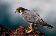 Hálcón Peregrino (Falco peregrinus) (fotonatura.org)