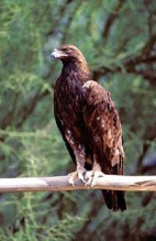 Aguila_real_Blanca