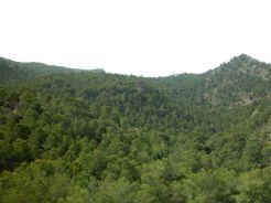 Pino Carrasco (Pinus halepensis) (regiondemurcia.com)