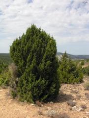 Sabina negra (Juniperus phoenicea) (regmurcia.com)