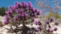 Cantueso murciano (Thymus moroderi) (cursoeducadorambiental.org)